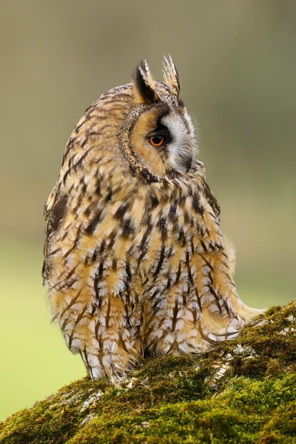 Otus espigado largo Reino Unido de Owl Asio imagen de archivo libre de regalías