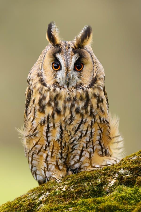 Otus espigado largo Reino Unido de Owl Asio foto de archivo libre de regalías