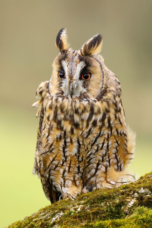 Otus espigado largo Reino Unido de Owl Asio imagenes de archivo