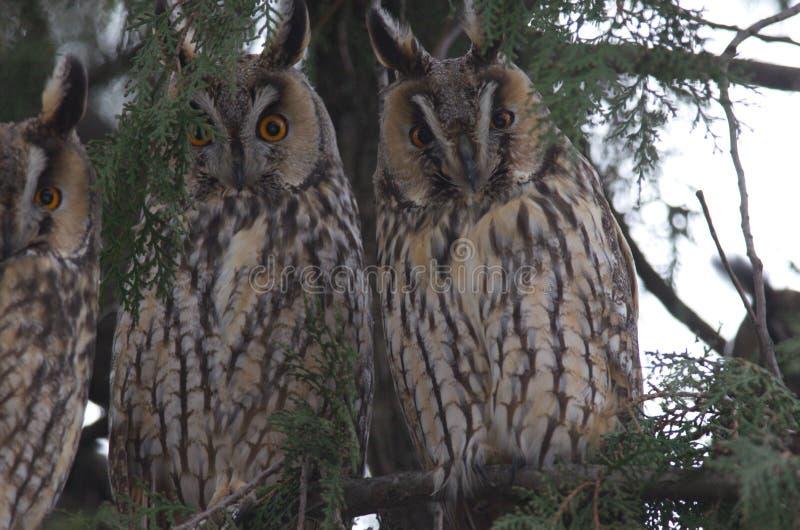 otus Longo-orelhudo de Owl Asio imagens de stock