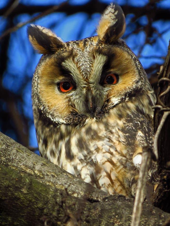otus Longo-orelhudo de Owl Asio fotos de stock