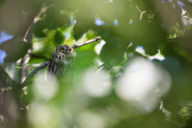 Otus scops Η άγρια φύση της Βουλγαρίας ελεύθερη φύση r Rhodopes πουλί λίγα Κουκουβάγια στο δέντρο Mou στοκ εικόνες