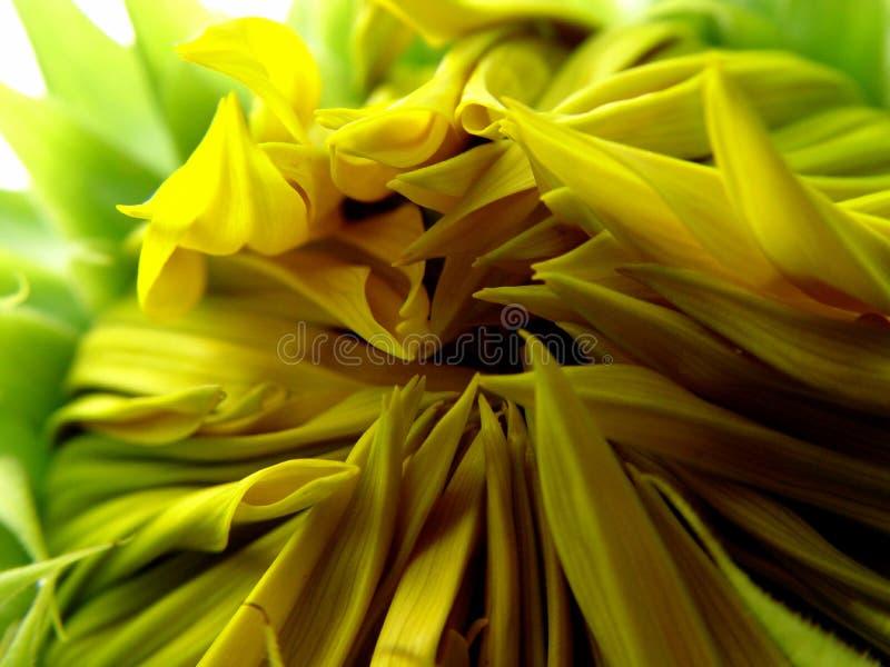 Download Otwarcie słonecznik zdjęcie stock. Obraz złożonej z organicznie - 44198