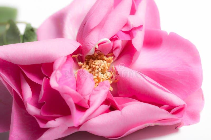 Otwarta menchii róża fotografia royalty free