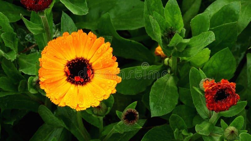 Otwarty kwiat między zamkniętymi ones obrazy stock