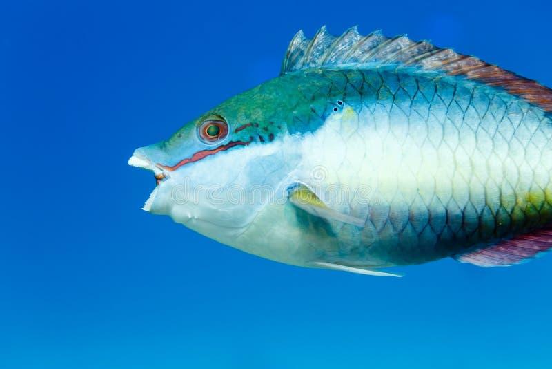 Otwarty usta i zęby Redband papuga łowimy sparisoma aurofrenatum w błękitne wody fotografia royalty free