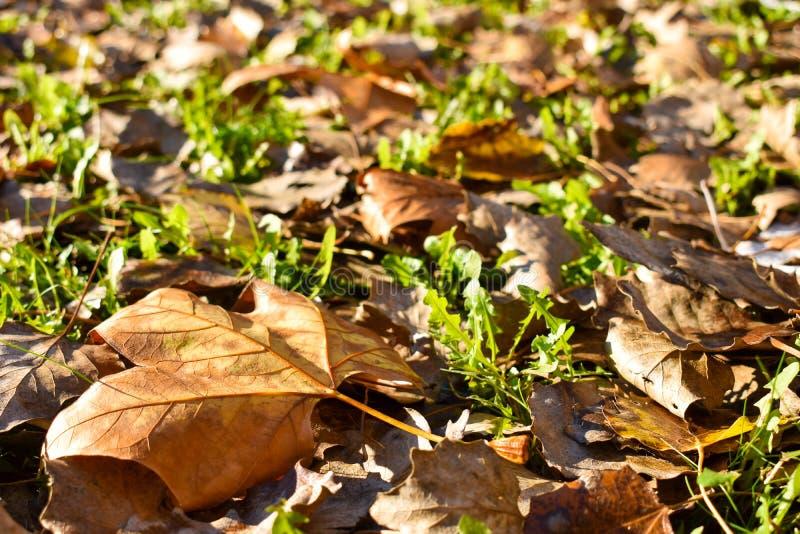 otwarty widok wiele sucha klonowa pomarańcze opuszcza na zielonej trawie w scenie spadku dzień Liście spadali na ziemi i zdjęcia royalty free