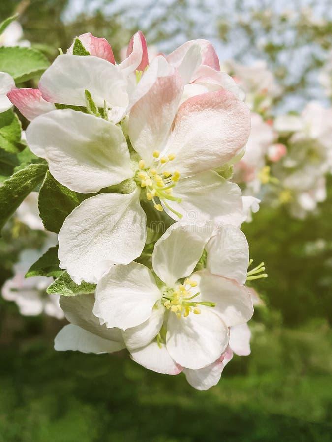 Otwiera białych i różowych jabłoń pączki w świetle słonecznym zamkniętym w górę zabarwiający fotografia stock