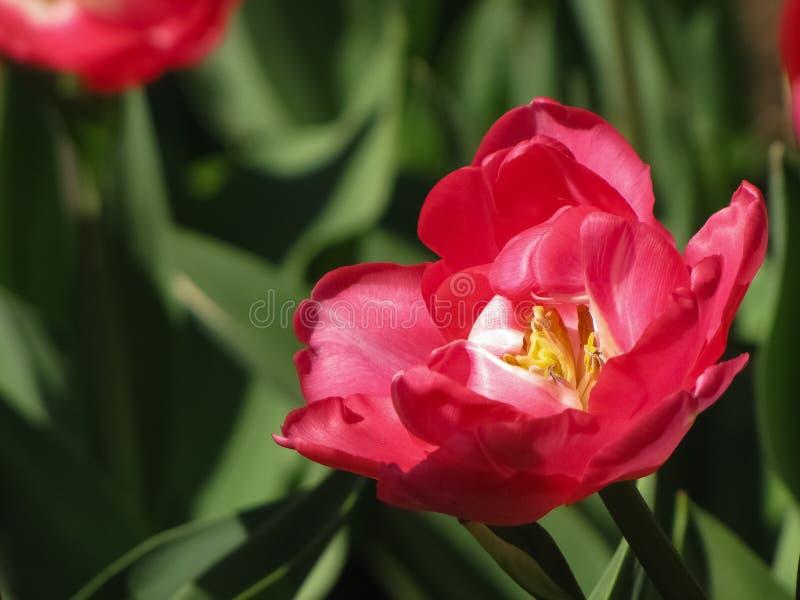 Otwiera Różowego tulipanu w słońcu obraz stock