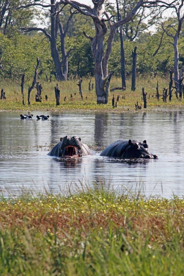 OTWIERA usta WYSTAWIA TERYTORIALNEGO ostrzeżenie hipopotam zdjęcie royalty free