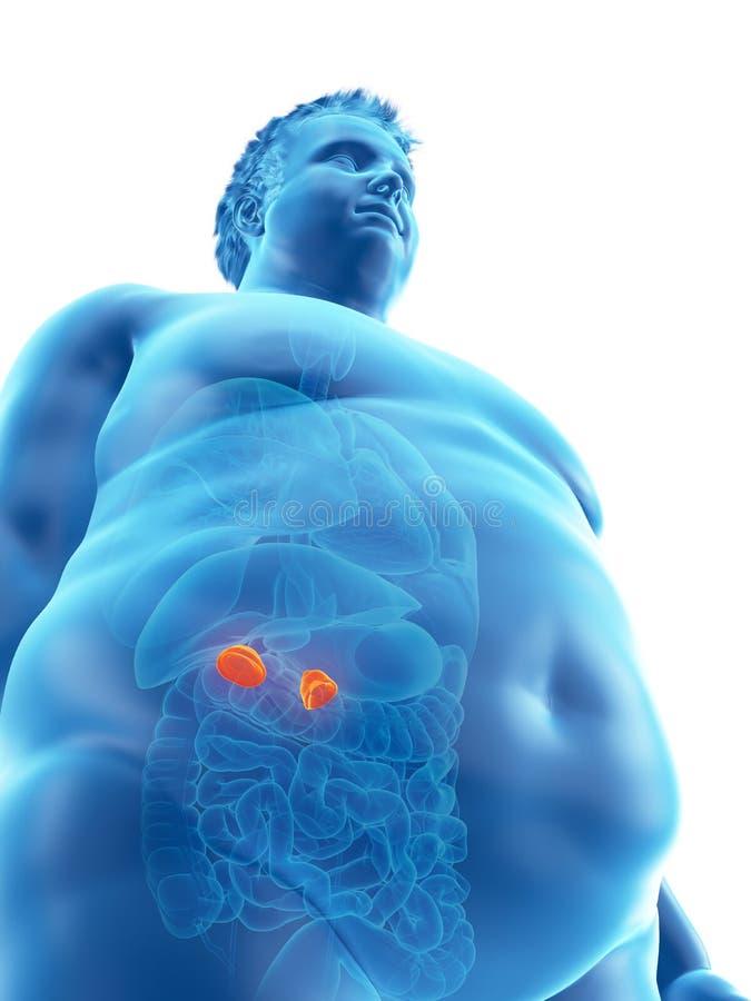 Otyły obsługuje adrenal gruczoły ilustracji
