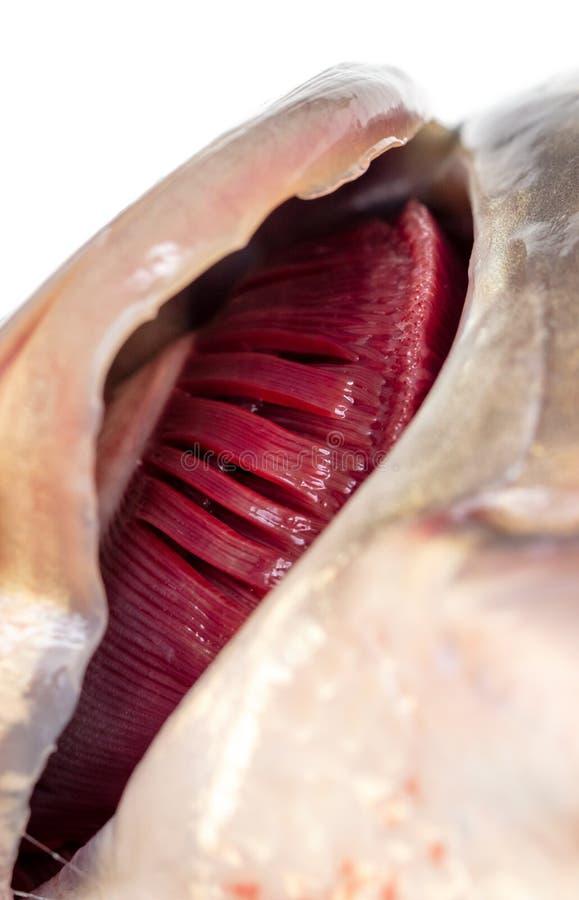 Ouïes de carpe de poissons sur un fond blanc photo stock