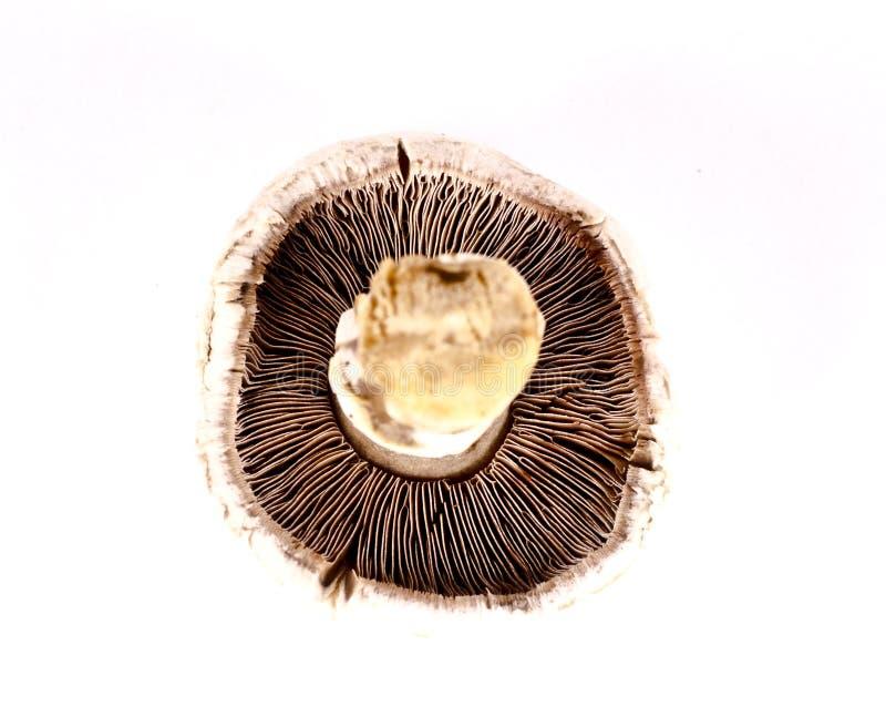 Ouïes de champignon photos libres de droits