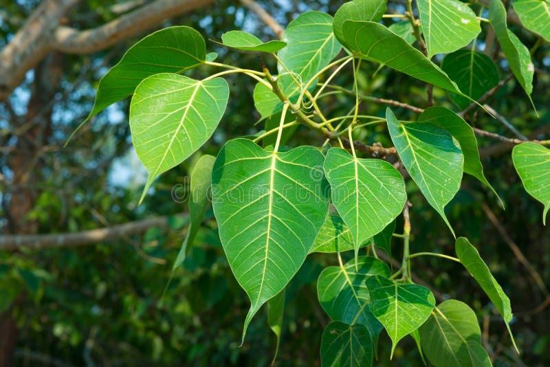 Ou licença do bodhi da árvore do bodhi NEF imagem de stock