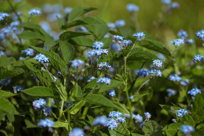 Oubliez-moi-non, myosotis sur fond vert. Belles fleurs bleu vif avec un closeuse jaune au milieu photographie stock libre de droits