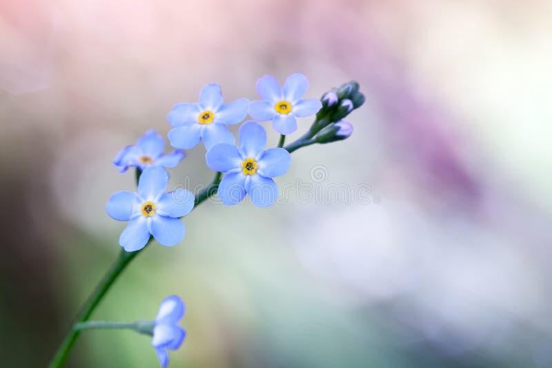 Oubliez-moi pas des fleurs sur le fond coloré photographie stock libre de droits