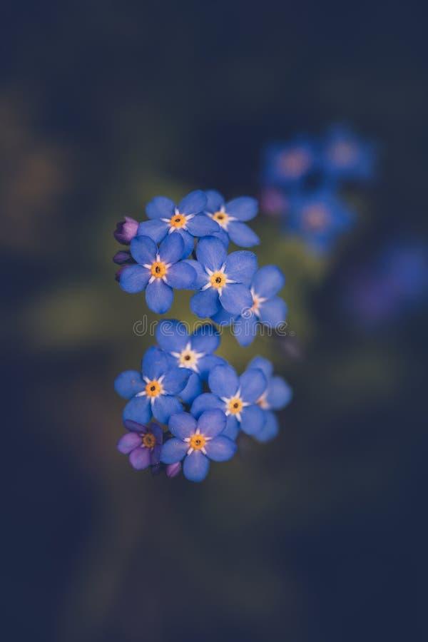 Oubliez-moi pas fleur/alpestris de Myosotis photographie stock libre de droits