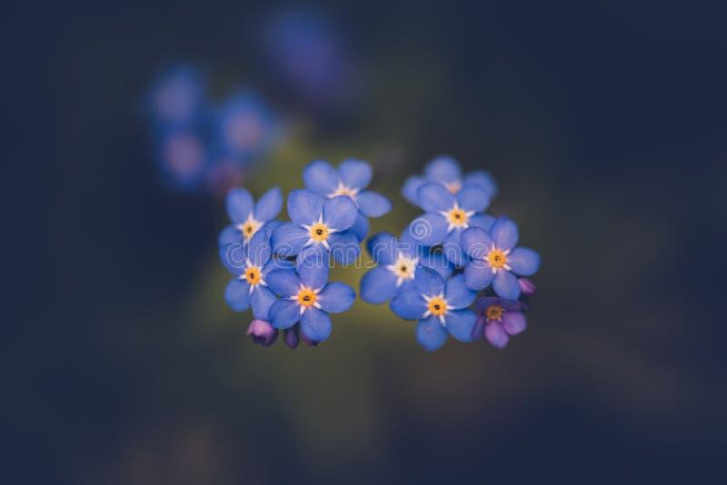 Oubliez-moi pas fleur/alpestris de Myosotis photo libre de droits