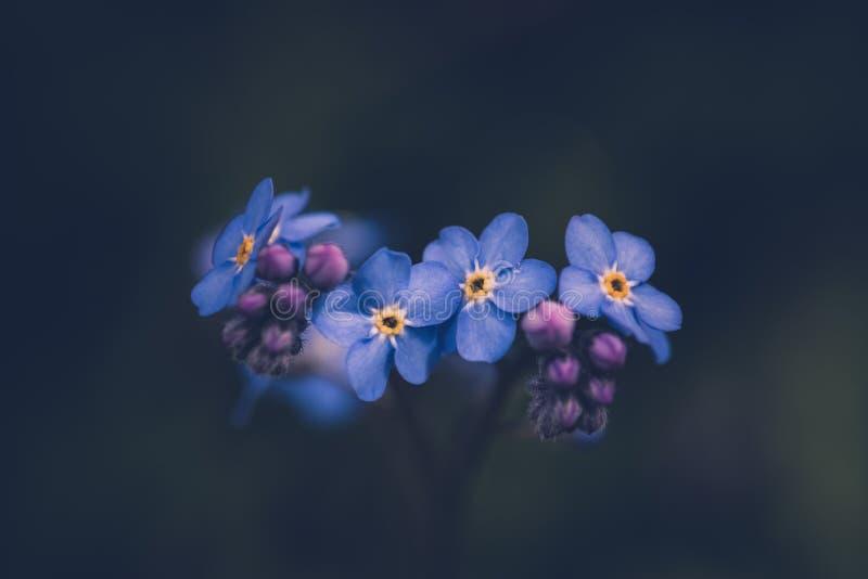 Oubliez-moi pas fleur/alpestris de Myosotis photos libres de droits
