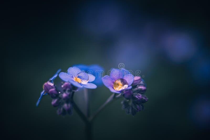 Oubliez-moi pas fleur/alpestris de Myosotis photo stock