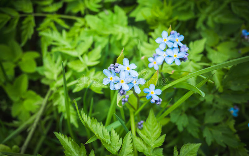 Oubliez-moi pas Forêt bleue de fleurs sauvages au printemps photo stock
