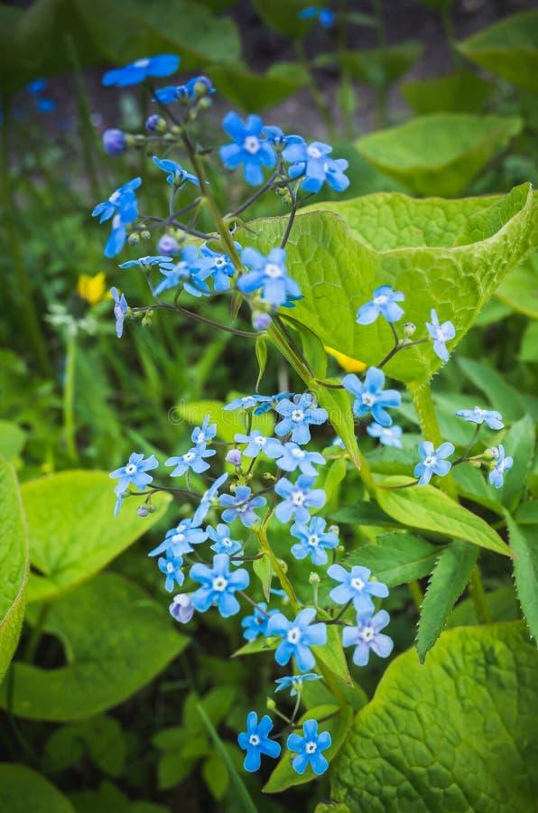 Oubliez-moi pas Forêt bleue de fleurs sauvages au printemps photographie stock libre de droits