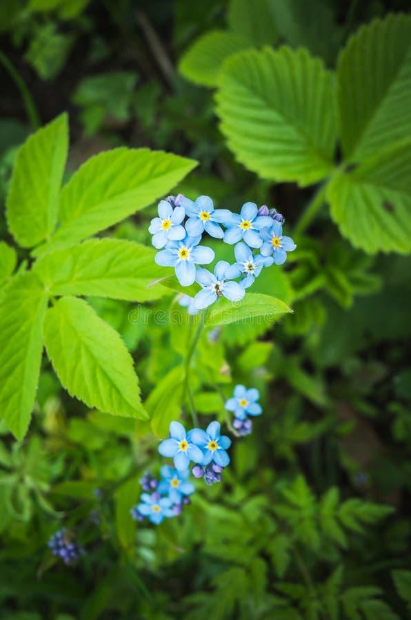 Oubliez-moi pas jardin de fleurs au printemps photos stock