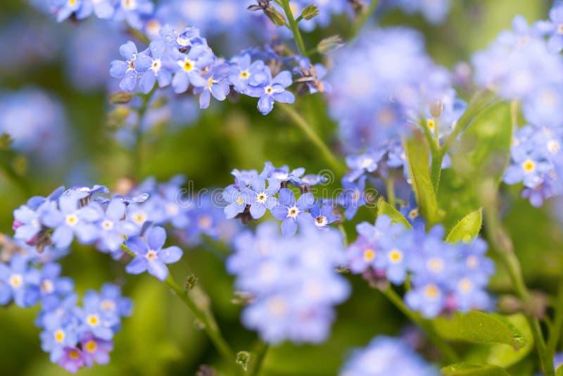 Oubliez-moi pas les fleurs après la pluie avec des gouttes d'eau, une petite profondeur de champ photos libres de droits
