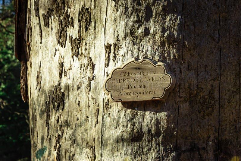Oud-Atlantische cedar stock fotografie