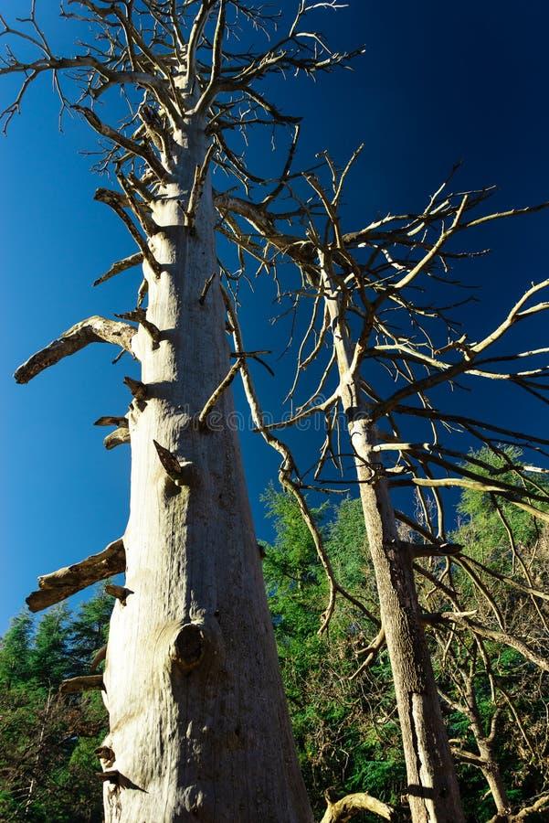 Oud-Atlantische cedar stock afbeelding