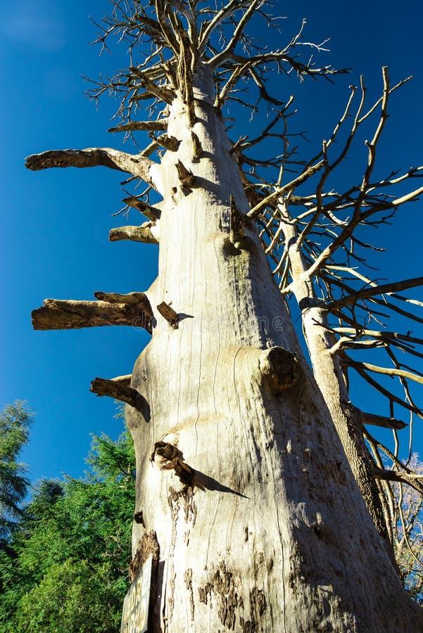 Oud-Atlantische cedar royalty-vrije stock afbeelding
