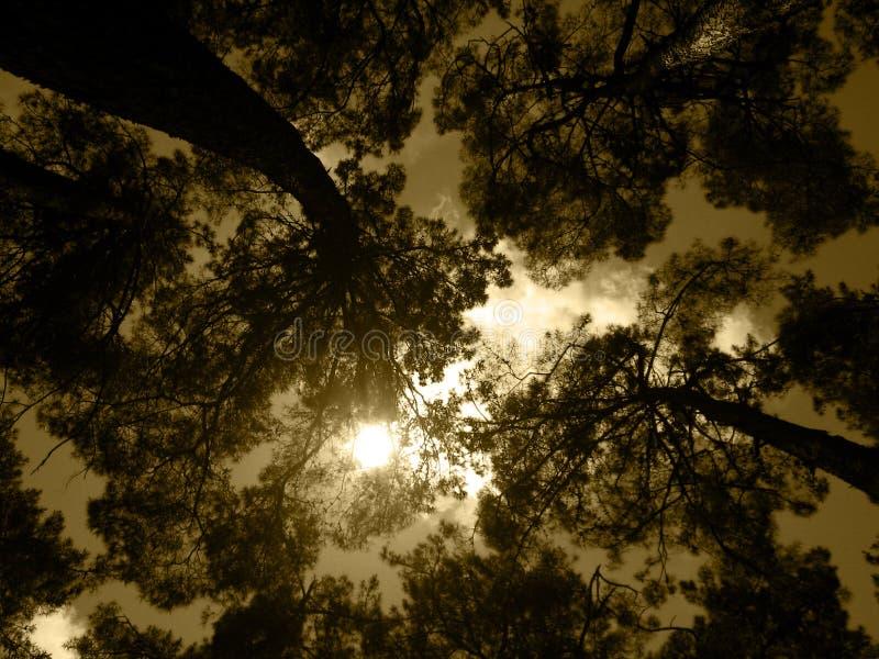 Oud bos onder gouden hemel stock afbeeldingen