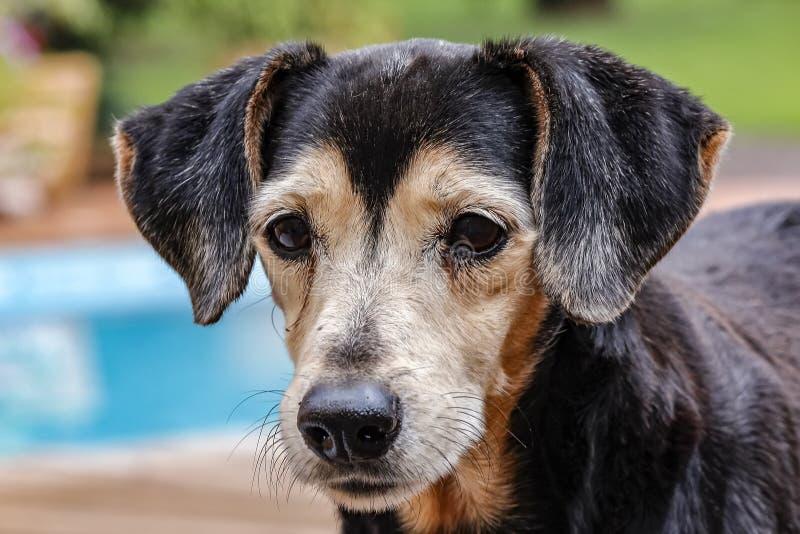 Oud hondportret - foto van oude hond van het Braziliaanse Terrier-ras royalty-vrije stock foto's