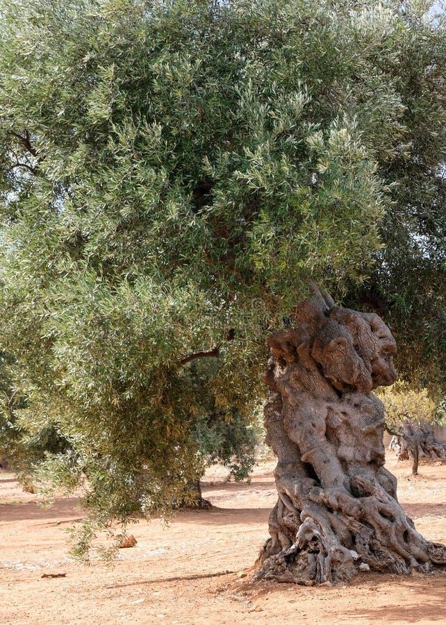 Oud knarled olijfboom op een gebied dichtbij Alberobello in Puglia, Zuid-Italië stock afbeeldingen