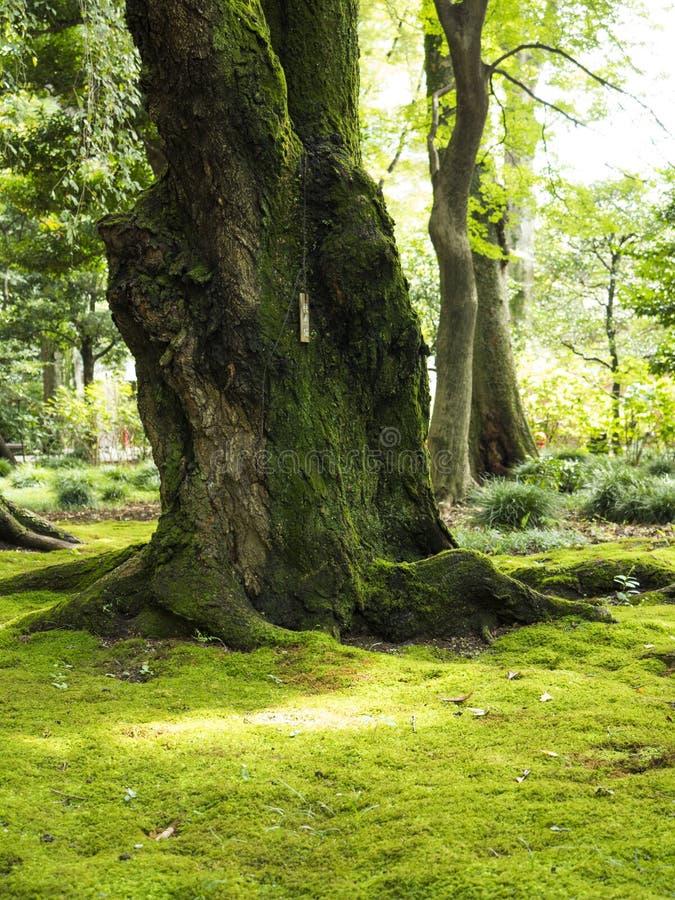 Oud knoestig bomen en mos royalty-vrije stock foto's