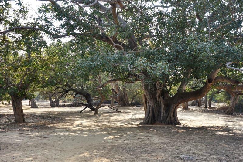 Oud Verdraaid Bosje van Bomen stock afbeeldingen