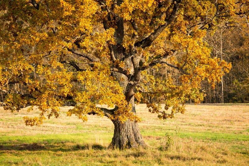 Oud vertakte zich eik met gele bladeren in het zonlicht royalty-vrije stock fotografie
