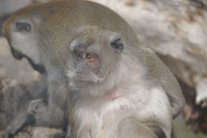 Oude aapzitting en het letten op met een andere op de achtergrond royalty-vrije stock foto