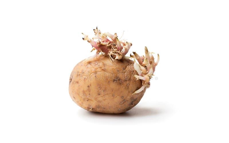 Oude aardappel met spruiten op wit stock foto's