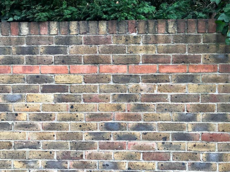 Oude bakstenen muur met klimop stock afbeeldingen