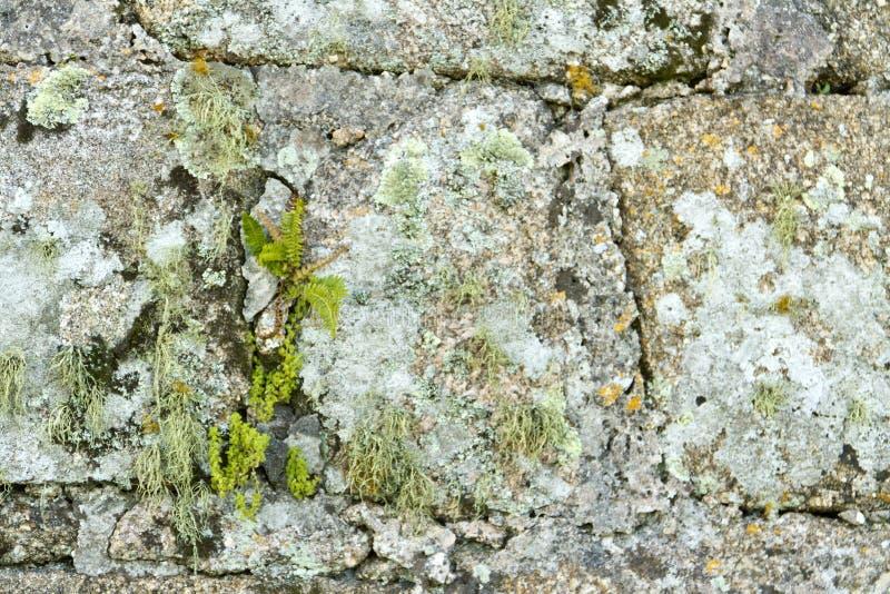 Oude bakstenen muurtextuur met korstmos, mos en varen stock foto's