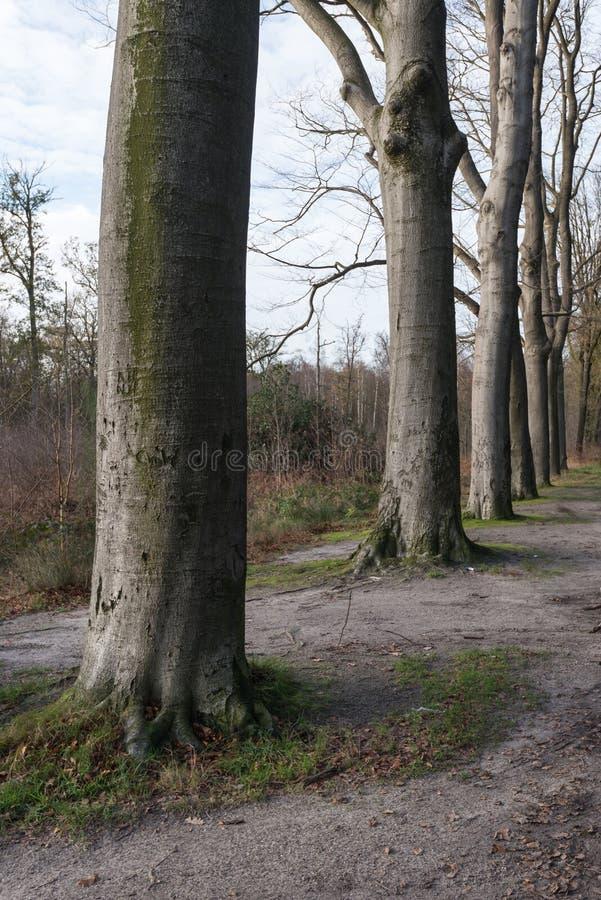 Oude beukbomen op een rij stock foto's