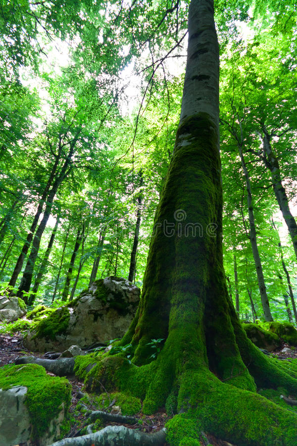 Oude beukboom in een groen bos stock afbeelding