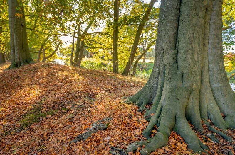 Oude beukboom met vaste wortelstribunes in de voorgrond tussen stock foto