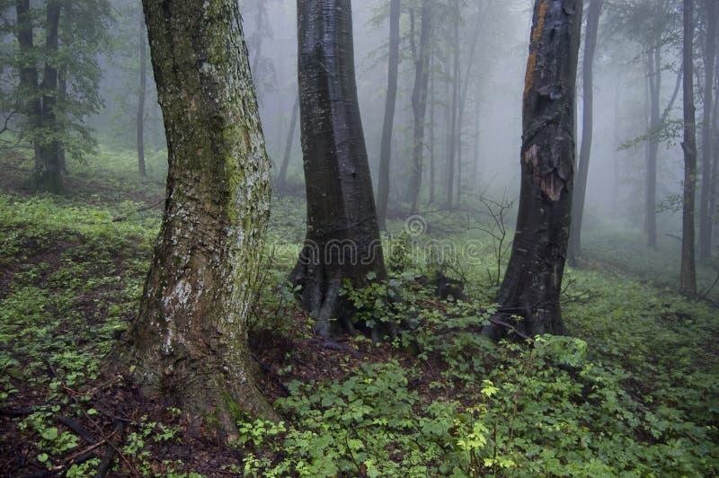 Oude bomen in een mistig bos royalty-vrije stock afbeeldingen