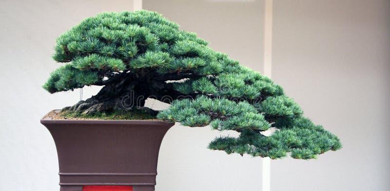 Oude bonsai van pijnboomboom royalty-vrije stock afbeelding