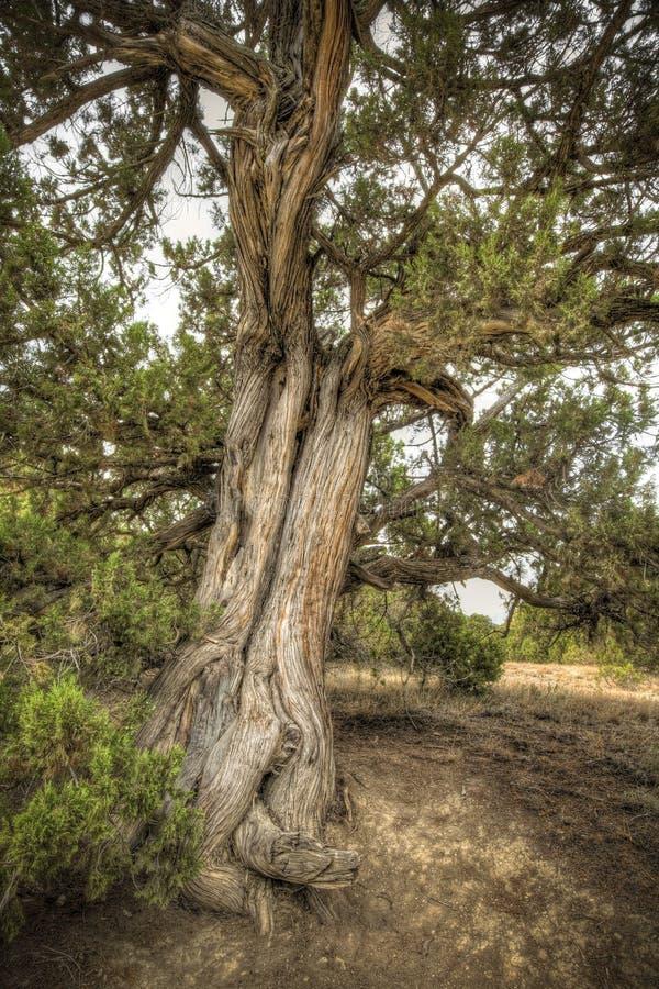 Download Oude boom stock afbeelding. Afbeelding bestaande uit bosje - 10777473