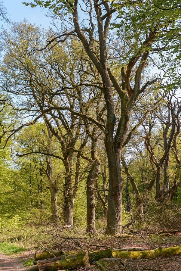 Oude boom stock afbeeldingen
