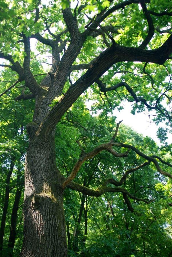 Oude boom in bos royalty-vrije stock fotografie