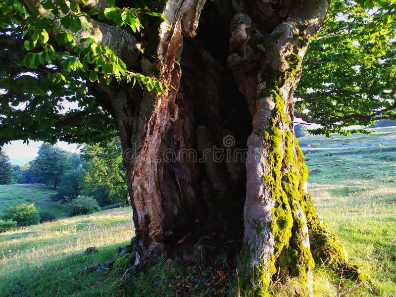 Oude boom in de berg royalty-vrije stock foto